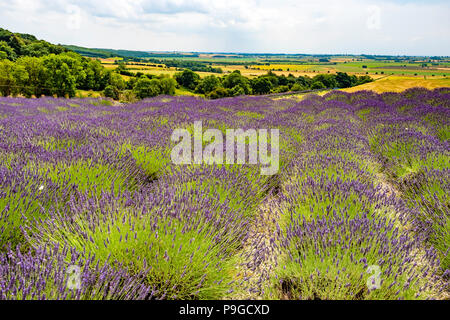 Looking South over open farm land in the Vale of York from Yorkshire Lavender Terrington York UK under a cloudy sky - Stock Image