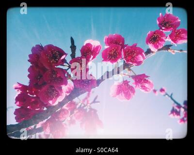 Pretty, deep pink sakura or cherry blossoms called Kanhizakura (Cerasus cerasoides) or Taiwan cherry, with blue - Stock Image