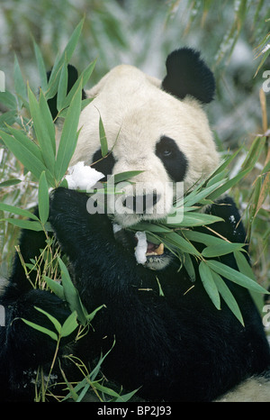 Giant panda feeds in winter with snow on bamboo, Wolong, China, - Stock Image