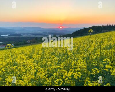Yellow flowers field and sunset - Stock Image
