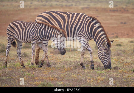 Mother and juvenile  Burchell's zebra (Equus quagga burchellii) together grazing in low grass dry karoo - Stock Image