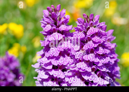 Spotted Orchids (dactylorchis fuchsii), close up of a couple of flower heads. - Stock Image