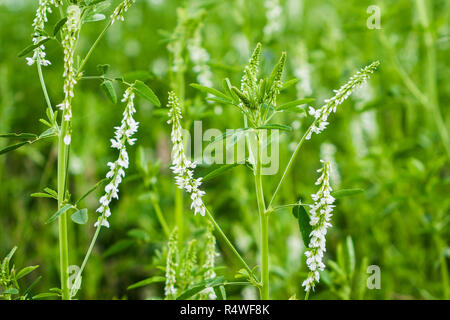 White Sweet Clover wildflowers in early Summer. Melilotus albus, is a legume . - Stock Image