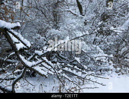 new fallen snow clinging to tree branches - Stock Image