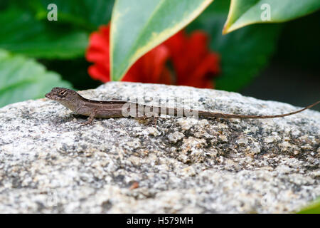 Brown anole (Anolis sagrei) Singapore - Stock Image