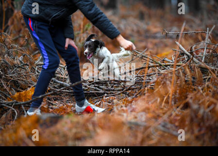 English springer spaniel agility jumping  training amongst the fallen trees and branches in the New Forest UK. - Stock Image
