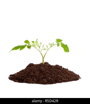 Young seedling plant growing out of soil, concept of new life or beginning; environmental conservation or green movement. Isolated on white background - Stock Image