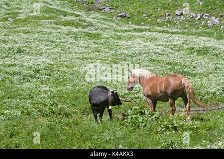 Cow And Haflinger On An Alpine Meadow Between Flowering Alpine Pastures And Mountain Herbs - Stock Image