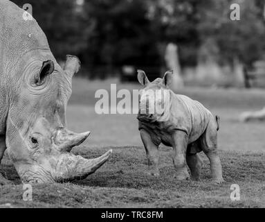Detailed black & white close-up photograph of Southern White rhinos (Ceratotherium simum) outside; cute, playful baby rhino (front view) looks naughty. - Stock Image