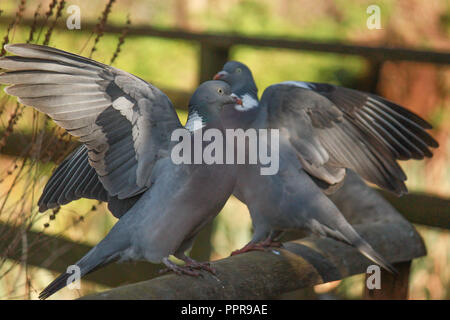 two pigeons say on a fence,  flapping their wings, - Stock Image