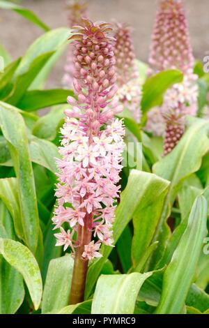Close-up of pineapple flowers Sdlg Aldzw FF103. Eucomis Sdlg Aldzw FF103 - Stock Image