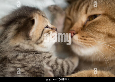 Lovely scene cat mother and kitten together face to face - Stock Image