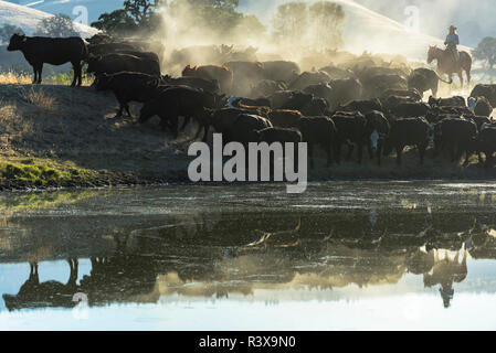 USA, California, Parkfield, V6 Ranch cowgirl with cows, reflected in pond (MR) - Stock Image