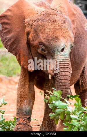 African Elephant calf injured by a spear during the poaching of his mother for her ivory, Sheldrick Elephant Orphanage, - Stock Image