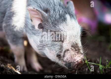 Close up of a young pot bellied pig digging in the dirt - Stock Image