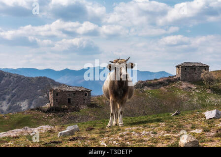Cow grazing on meadow in mountains. Cattle on a pasture - Stock Image