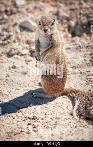 Angry Cape Ground Squirrel, Xerus inauris, looking at the camera, Etosha National Park, Namibia, Africa - Stock Image