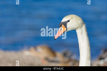 Beautiful swan Cygnus cygnus portrait - Stock Image