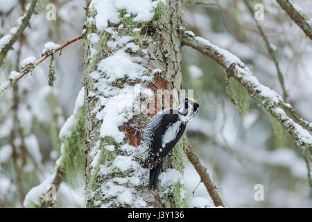 Eurasian three-toed woodpecker, Latin name Picoides tridactylus, in Ekopark Farna (Farna Nature Park) in central - Stock Image