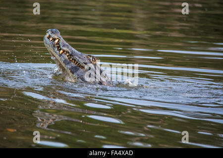 Yacare Caiman, Caiman crocodilus yacare, baring his teeth in a river in the Pantanal, Mato Grosso, Brazil, South - Stock Image