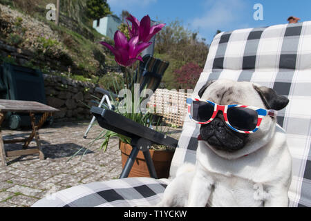 Mousehole, Cornwall, UK. 29th Mar, 2019. UK Weather. Titan the pug pup, out in his back garden making the most of the sunshine whilst it lasts. Credit: Simon Maycock/Alamy Live News - Stock Image