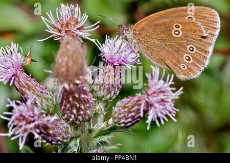 Ringlet Butterfly Berkshire UK - Stock Image