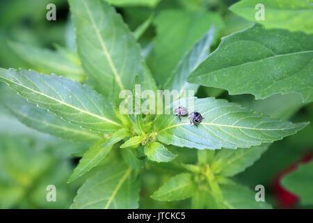 aconite ? plant in Jardin des Plantes off Boulevard du Jardin des Plantes, Amiens, France - Stock Image