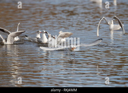 gull in flight with a piece of pizza in beak - Stock Image
