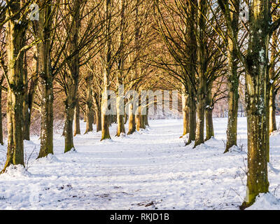 An avenue of bare winter trees on snow-covered ground at Coate Water in Wiltshire. - Stock Image