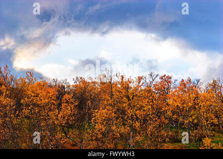 Birch trees are moving in the wind on a sunny autumn day in Swedish Lapland. - Stock Image