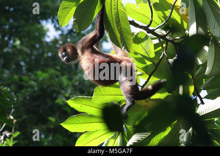 Howler Monkey - Stock Image