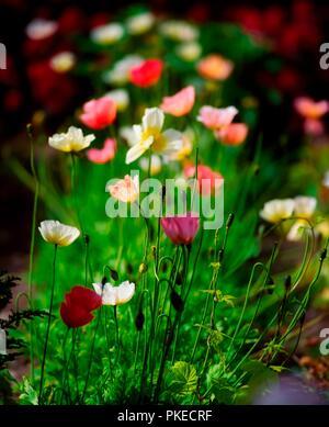 Alpine Poppies, Beech Park, Co Dublin, Ireland - Stock Image