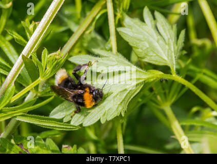 Buff-tailed bumblebee (Bombus terrestris) on a leaf in Spring (May) in West Sussex, England, UK. With Copyspace. - Stock Image