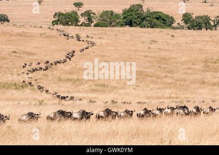 A line of wildebeest migrating in the Savannah. Kenya, Africa. - Stock Image