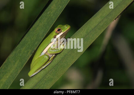 A green treefrog on cattails in Limestone County, Alabama, USA. - Stock Image