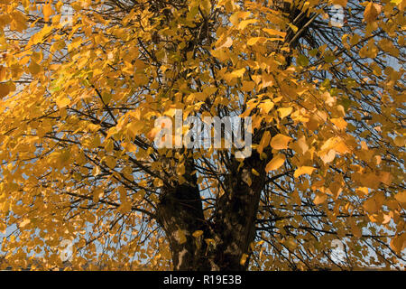 changing colours of beech tree (Fagus sylvatica) in autumn, Elstead, Surrey, England - Stock Image