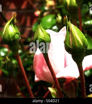 Rose Buds - Stock Image