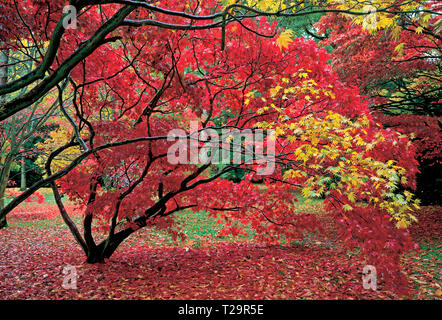 A colourful display of autumn colours in a woodland garden - Stock Image