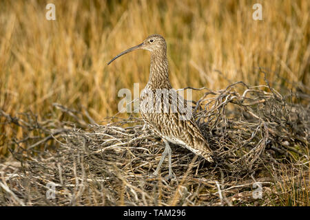 Curlew (Scientific name: Numenius arquata) Adult curlew in the Yorkshire Dales, UK during Springtime and the nesting season.  Facing left. Landscape,  - Stock Image