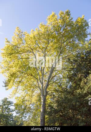 London plane tree, Platanus x hispanica, National arboretum, Westonbirt arboretum, Gloucestershire, England, UK - Stock Image