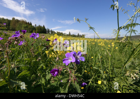 Buttercup flowers (Ranunculus) and woodland geranium (Geranium sylvaticum) blooming in a meadow in spring. - Stock Image