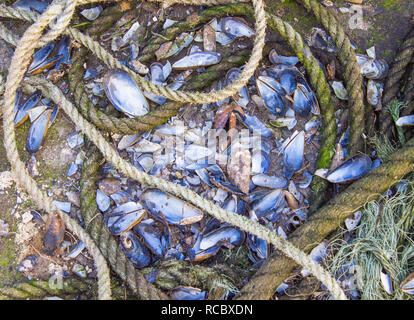 broken mussel shells on a harbour wall - Stock Image