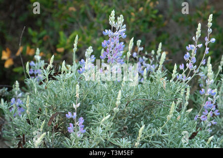 Wild lupine flowering near Lompoc, central California coast. Digital photograph - Stock Image
