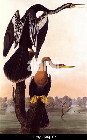 Anhinga Birds - Stock Image