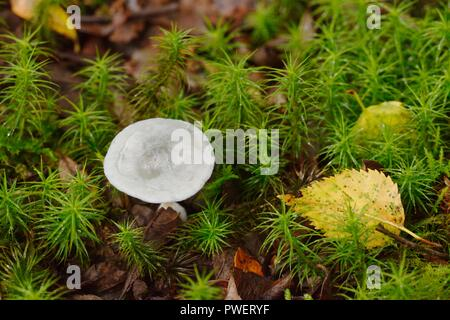Grey toadstool amosgst mosses and fallen leaves, Wales, UK. - Stock Image