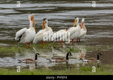 Pelicans and Ducks in Shallow Lake Waters - Stock Image