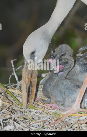 Indian Open billed stork Anastomus oscitans White Open billed stork at nest of special bill ot the adult stork and - Stock Image