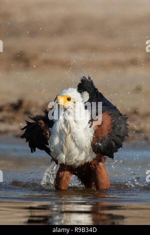 African fish eagle (Haliaeetus vocifer) bathing, Chobe river, Botswana, - Stock Image