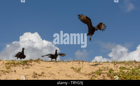 Flock of wild griffon vultures resting on the beach of Sauipe on Brazil - Stock Image