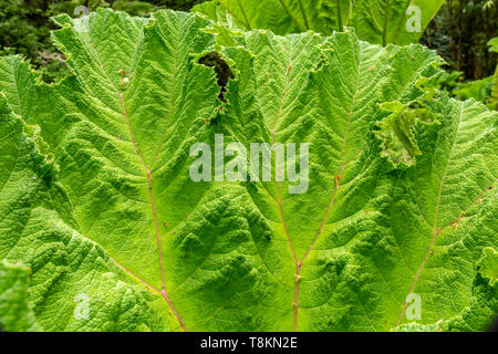 Colour photograph in landscape format of Giant Rhubarb Gunnera leaf (Gunneraceae) close-up. Branksome gardens, Poole, Dorset, England. - Stock Image